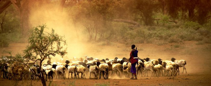 Maasai moran herding sheep (courtesy)